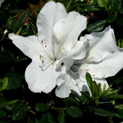 Azalea Bloom-A-Thon® White 3 Gallon