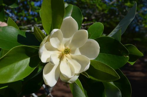 Magnolia 'Sweetbay' 5 gallon