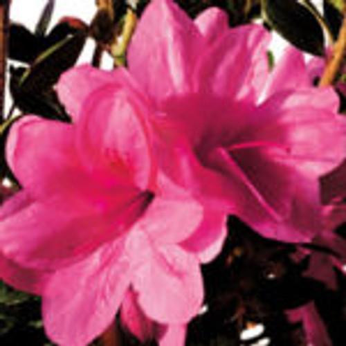 Medium-pink, semi-double azalea blooms