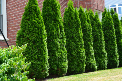 Arborvitae Emerald Green 3 Gallon