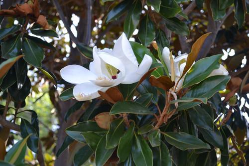 Magnolia 'Little Gem' 30 Gallon