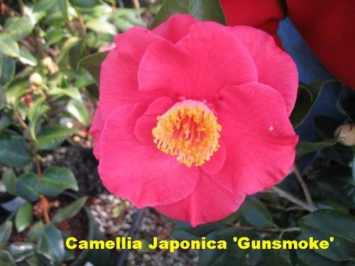Camellia 'Gunsmoke' 1 Gallon