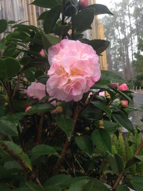 Camellia HIGH FRAGRANCE    1 Gallon