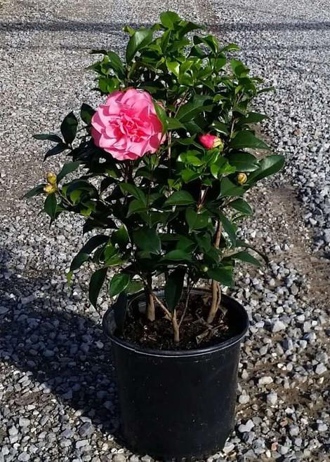 Camellia 'Marie Bracey'   1 Gallon