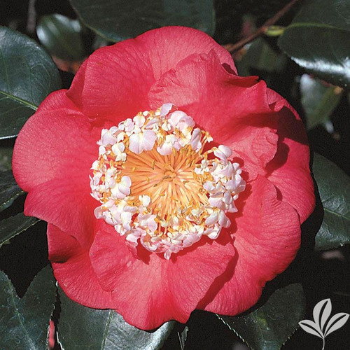 Camellia 'R L Wheeler'  1 Gallon