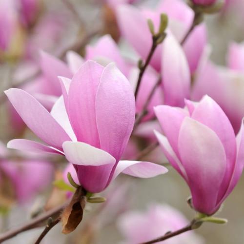 Magnolia 'Jane' 5 Gallon