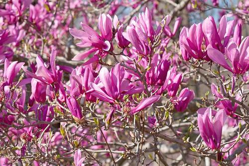 Magnolia 'Ann' 5 Gallon