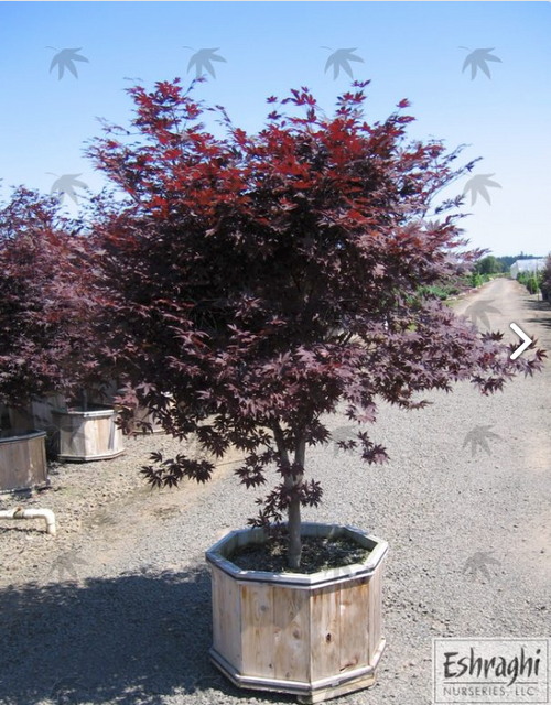 Japanese Maple 'Bloodgood' Container 5-6 Foot