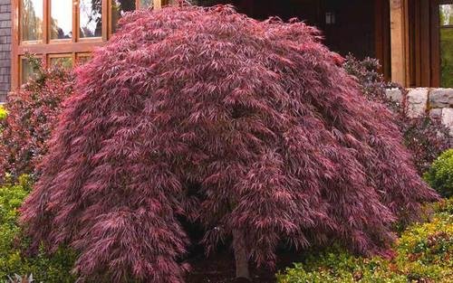 Japanese Maple 'Crimson Queen' 7 Gallon