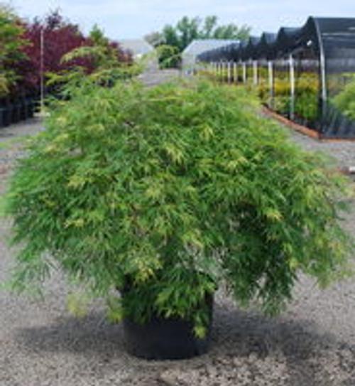 Japanese Maple 'Viridis' 5 Gallon