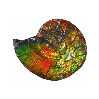Beautiful Bright Mined Ammonite Bright Reds, Oranges, Golds, Greens, Blues