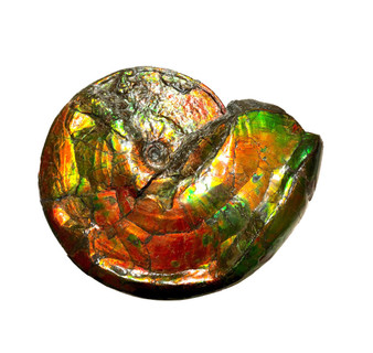 SOLD - Beautiful Bright Mined Ammonite Bright Reds, Oranges, Golds, Greens with Blues