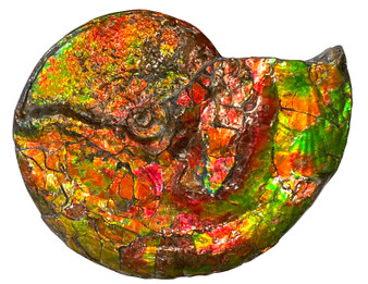 Beautiful Bright Mined Ammonite Bright Reds, Oranges, Golds and Greens.