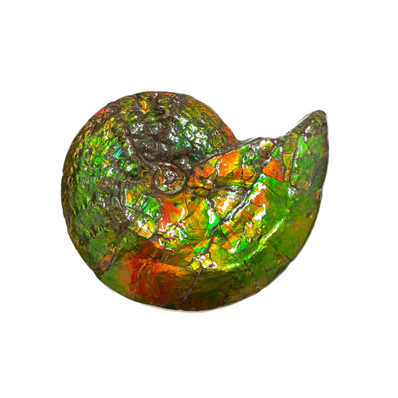 Beautiful Bright Mined Ammonite Bright Reds, Oranges, Golds and Greens