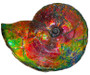Huge Bright Mined Ammonite Bright Reds, Oranges, Golds, Greens, and Blues