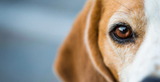 Looking after your Dog's eyes: Here's what you need to know