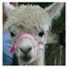 Alpaca Headcollar Buckle Fastening Pink