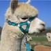 Alpaca Headcollar Buckle Fastening Green Peruvian