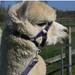Alpaca Headcollar Buckle Fastening Navy Peruvian