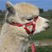 Alpaca Headcollar Buckle Fastening Red Peruvian