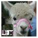 Alpaca Headcollar Snap Fastening Pink