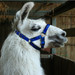 Llama Headcollar Buckle Fastening Royal Blue