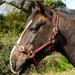 Rhinegold Nylon Horse Headcollar Black & Red