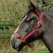 Rhinegold Nylon Horse Headcollar Burgundy