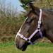 Rhinegold Nylon Horse Headcollar Lilac