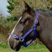 Rhinegold Nylon Horse Headcollar Royal Blue