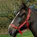 Rhinegold Nylon Horse Headcollar Red