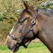 Rhinegold Nylon Horse Headcollar Navy