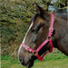 Rhinegold Nylon Horse Headcollar Raspberry