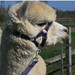 Alpaca Headcollar Buckle Fastening  - With Lead - SPECIAL OFFER