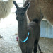 Alpaca ID Collar - Pack of 6 different colours - Cria Size