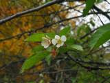 September Cherry
