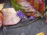 November Lavender