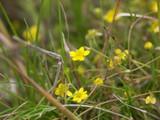 Yellow Saxifrage