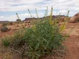 Desert Plume