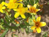Kalm's St. Johnswort