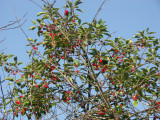 Miracle Cherry Tree