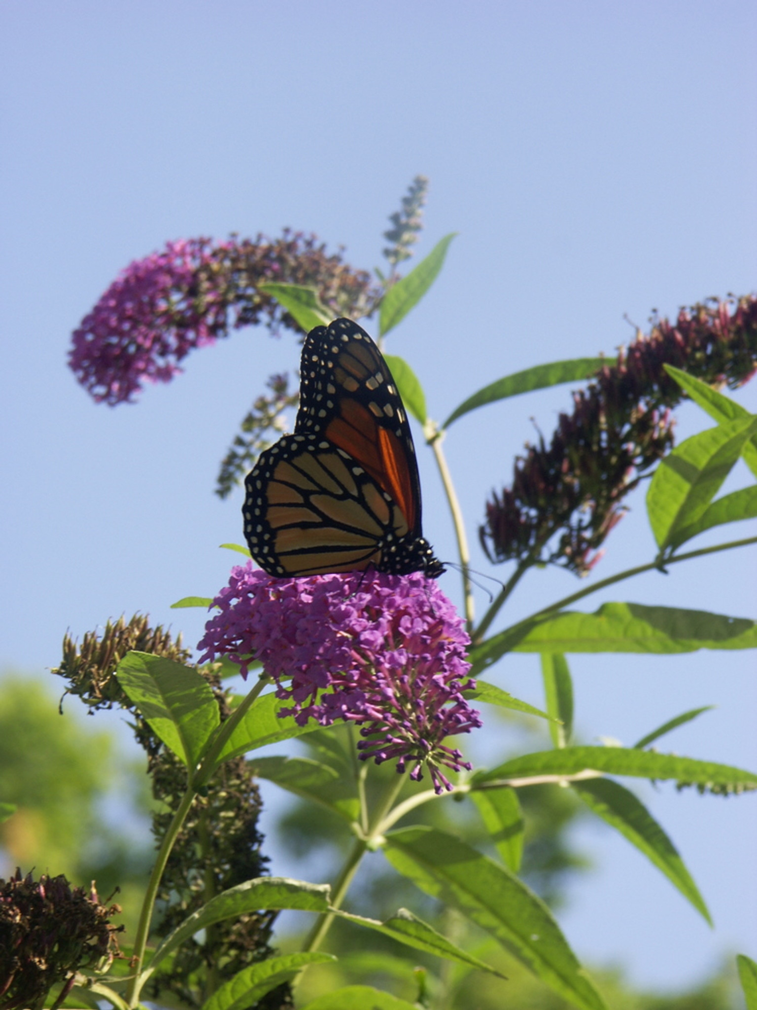 Butterfly Bush Great Lakes Sacred Essences