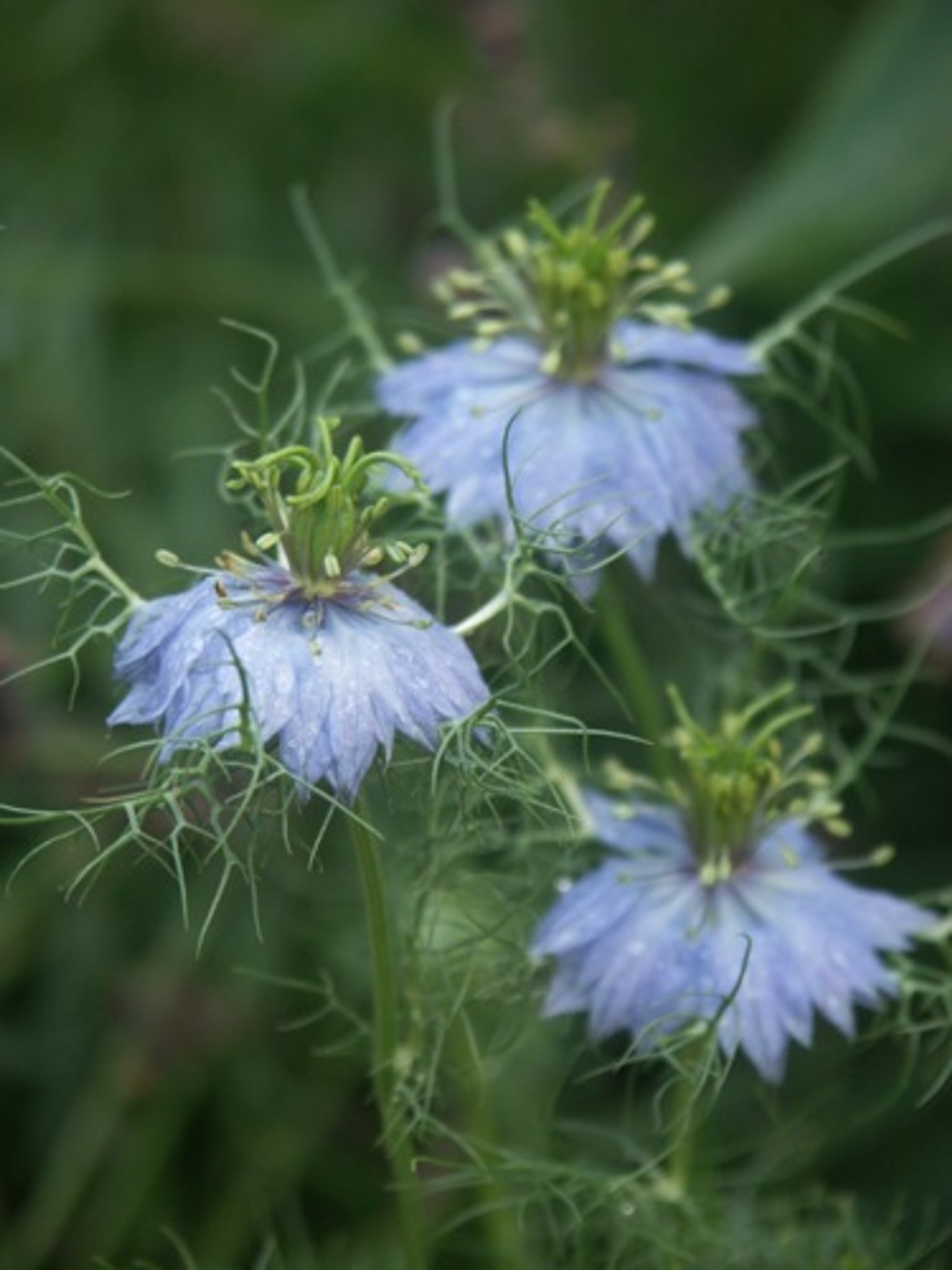 Love In A Mist Great Lakes Sacred Essences