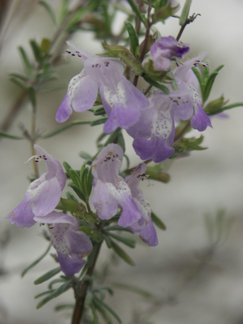 Wild Rosemary - Loner