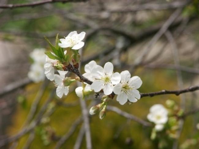April Cherry