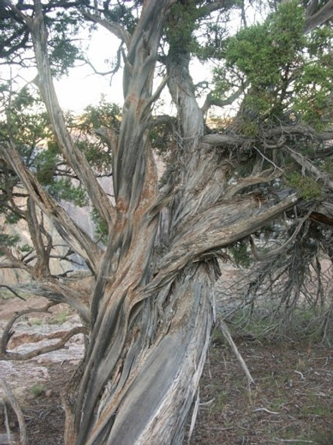 Black Canyon Juniper