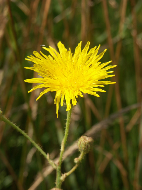 Common Sow Thistle