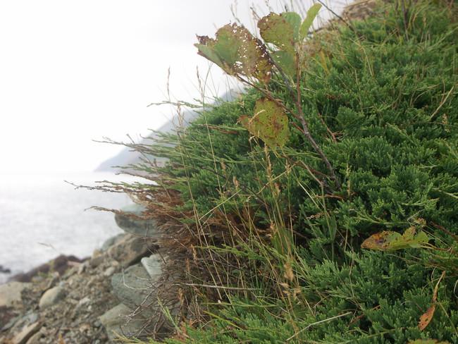 Cape Brenton Juniper
