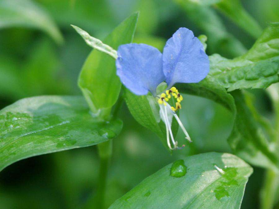 Dayflower