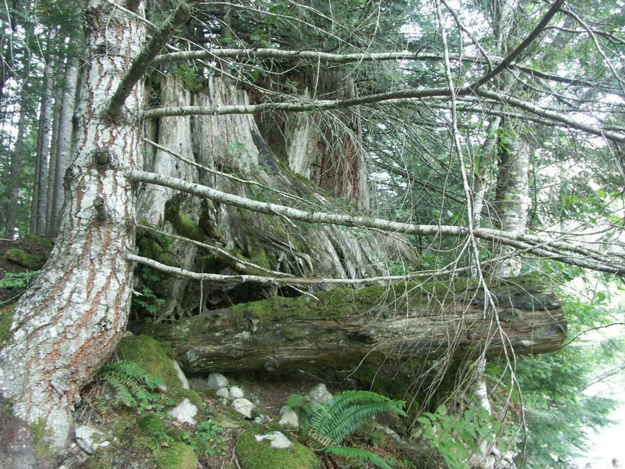 Generational Cedar
